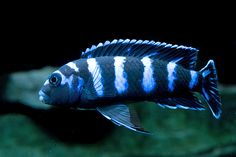 African cichlid from Lake Malawi. Cichlid Aquarium, Cichlid Fish, Saltwater Aquarium Fish, Tropical Aquarium, Freshwater Aquarium, Tropical Fish, Discus Fish, Betta Fish, Malawi Cichlids