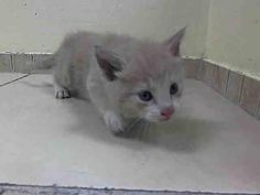 Cream, is 6 weeks old Beautiful Baby, needs to be saved!!!