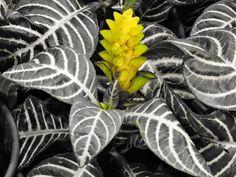 expo flores de holambra em salvador alphelandra
