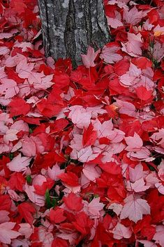 57 Ideas For Nature Forest Autumn Red Leaves Timothy Green, Pink Leaves, Colored Leaves, Seasons Of The Year, Autumn Leaves, Fallen Leaves, Autumn Fall, Belle Photo, Graphic