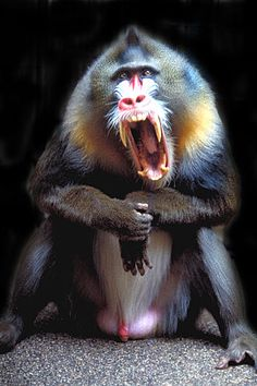 Weighing almost 80 lbs and standing at three feet the mandrill is the largest species of monkey But despite being huge and colorful Mandrills who live in the rainforests. Funny Animals, Animals And Pets, Cute Animals, Primates, Beautiful Creatures, Animals Beautiful, Mandrill Monkey, Monkey Species, Aggressive Animals