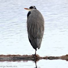 Great Blue Heron by Lyn Topinka