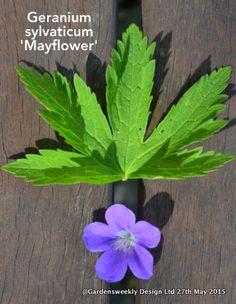 Geranium sylvaticum 'Mayflower' an intense blue, an upright sturdy habit and not to tall...one of my top ten Geraniums
