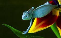kameleontti