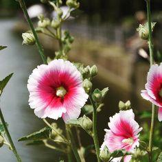 おはようございます #雨 の横浜やることがたくさんありますがどうも気分がのらないですねー頑張らないと  #タチアオイ #浮間公園 #浮間舟渡 #板橋 #東京 #花 #池  #hollyhock #ukimapark #ukimafunado #itabashi #tokyo #japan #flower #flowers #pond
