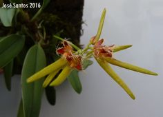 Bulbophyllum fimbriperianthium
