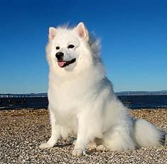 Google Image Result for http://www.doggies.com/images-new/breed-guide-dog-photos/American_Eskimo_Dog_body.jpg