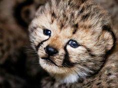 Animals And Pets, Baby Animals, Cute Animals, Animal Babies, Tonkinese, Cheetahs, African Animals, Big Cats, Pet Birds