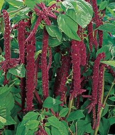 Here is a plant that may surprise you.  If you're into health food, you recognize amaranth as a high protein grain.  If you're into flower gardens, you will recognize this old beauty as Love Lies Bleeding.  So, the seeds are a high protein food; the flowers add beauty to the back of your flower border; the leaves can be made into a tea that helps control bleeding such as a heavy menstrual flow. - See more at: http://www.top1000naturalremedies.com/2014/03/amaranth-love-lies-bleeding/