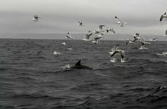 Seagulls and dolphins off Portugal  (www.escolademar.pt)