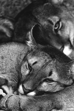pumas cuddling