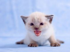 Cats or kittens are world's most favorite pets and people love their fluffy and silky fur and their playing antics. No one can deny that kittens (baby cat White Kittens, Baby Kittens, Kittens Cutest, Cats And Kittens, Cute Cats, Siamese Cats, Funny Kittens, Animals And Pets, Baby Animals