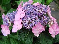 10 Reasons Your Plants Won't Bloom...Twist & Shout hydrangea
