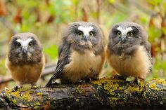 Northern Saw-Whet Owlettes by Sylvia L