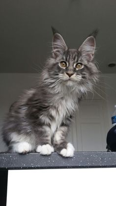maine coon cat breeds for sale & maine coon katzenrassen zu verkaufen maine coon cat breeds for sale & Burmese cats breeds, cats breeds Fluffy, cats breeds Small Pretty Cats, Beautiful Cats, Kittens Cutest, Cats And Kittens, Tabby Cats, Funny Kittens, Bengal Cats, White Kittens, Black Cats