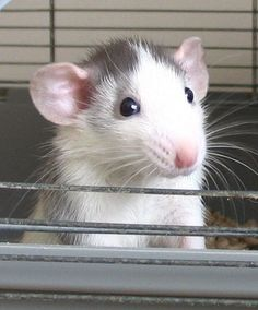 Dumbo rat i love them, they r a really good pet.Dumbo rat i love them, they r a really good pet.Dumbo rat i love them, they r a really good pet. Hamsters, Rodents, Gerbil, Animals And Pets, Baby Animals, Funny Animals, Cute Animals, Strange Animals, Rata Dumbo