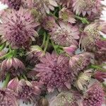 Add interest and texture into any arrangement with the touch of astrantia. Pinky Lavender Astrantia showcases romantic lavender-hued petals that encircle a Water Flowers, Bunch Of Flowers, Lavender Flowers, Dried Flowers, Pretty Flowers, Blue Flowers, Garden Spaces, Garden Plants, Astrantia Flower