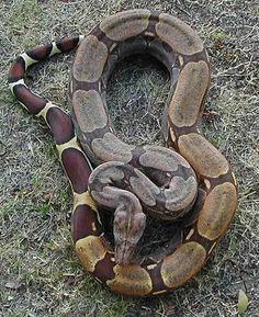 Boa c. constrictor Guyana WC