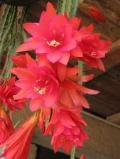 aporophyllum senza nome nè gloria...ma comunque molto bello / IMG_2641_576x768.JPG