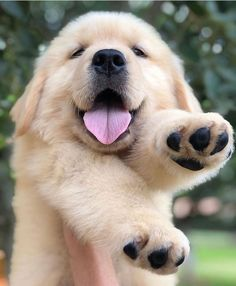 Very Cute Dogs, Cute Little Dogs, Cute Baby Dogs, Cute Dogs And Puppies, Cute Baby Animals, Pet Dogs, Dog Cat, Doggies, Labrador Puppies