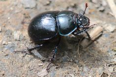 Dung beetle - love them : )