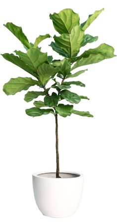 Fiddle Leaf Fig Tree What goop Staffers Want for Their Homes Tall Plants, Foliage Plants, Indoor Trees, Indoor Plants, Photoshop, Chlorophytum, Fiddle Leaf Fig Tree, Plantar, Ficus