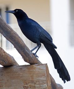 long tailed grackle
