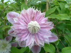CLEMATIS x. 'Josephine' CHOICE CLEMATIS! Chelsea Flower Show Award Winner of 1998. This double clematis is a wonderful blending of cream to creamy gr...