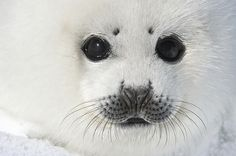 Harp seal white coat baby Photo by Daisy Gilardini -- National Geographic Your Shot Harp Seal Pup, Baby Animals, Cute Animals, Cute Seals, Baby Seal, Animals Of The World, Marine Life, Sea Creatures, Spirit Animal