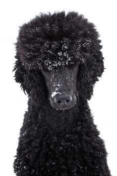 Berlin the Poodle