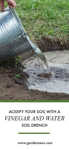 Acidify your soil with a vinegar and water soil drench.