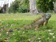 iguana body - Google Search