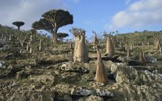 Dragon blood trees. Source:  http://www.businessinsider.com.au/socotra-island-pictures-2014-8#socotra-is-part-of-yemen-which-is-currently-undergoing-some-serious-political-strife-but-you-wouldnt-know-that-from-the-surreal-beauty-of-socotra-1