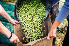 How to Make High Quality Olive Oil: Bertolli Olive Oil? Early Picking and Fast Pressing Means Respecting Nature and Preserving Olive Oil Benefits Bertolli Olive Oil, Olive Oil Benefits, Olive Harvest, Catholic Holidays, Extra Virgin Oil, Oil News, Organic Chicken, Olive Tree, Light Recipes