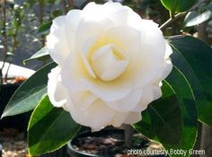 Camellia japonica 'Morning Glow'