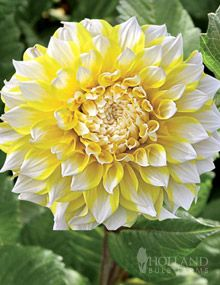 Yellow and White Dahlia 'Seattle'