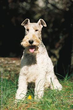 Wire Fox Terrier... Not quite as regal as our Lola...not!