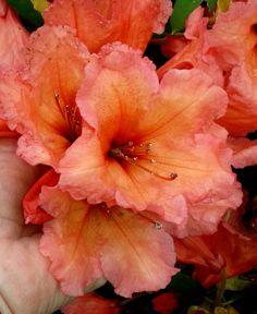 Rhododendron 'Old Copper' Photo by Jan R. Garden Inspiration, Garden Ideas, Woodland Garden, House Landscape, Flower Photos, Shade Garden, Shrubs, Perennials, Planting Flowers