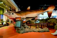 "THE MEGALODON is the life-size, 50-foot prehistoric shark once native to Florida waters offers the ""wow"" factor to entice young ones into the Prehistoric Florida exhibit at the Museum of Discover & Science!"