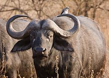 African buffalo or Cape buffalo, Genus: Syncerus, Family: Bovidae, Order: Artiodactyla; large African bovine; not closely related to the slightly larger wild Asian water buffalo, ancestry remains unclear; it is not the ancestor of domestic cattle and is only distantly related to other large bovines; has very unpredictable nature and is highly dangerous to humans; has never been domesticated