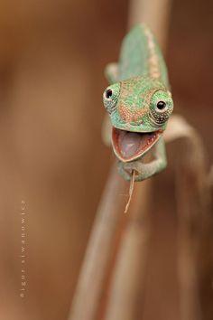 Baby chameleons....@Michelle Flynn Alo, Rhonda Duerksen, Tami Lehrman & Jennifer Elliott  cute? or creepy?