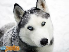 The Cutest Pets You Have to See This Month! | SIERRA | A whopping 2,401 people were hypnotized by Jeannie Wood's stunning Siberian husky. Time to snap out of it, folks!