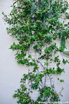 How to Grow Flowering Vines: Ideas and Techniques, - Vine Ideas Avocado Plant, Plants, Planting Flowers, Fragrant Plant, Growing Flowers, Fast Growing Flowers, Ground Cover, Vine Trellis, Flowering Vines