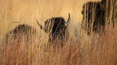 Bison to roam Midewin prairie again. Return should help restore native prairie, grassland habitat. Grassland Biome, Grassland Habitat, Welcome Home, Biomes, Bison, Beautiful Creatures, Thunder, Conservation, Mammals