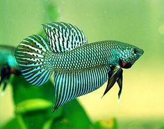 #betta #fish #aquarium