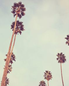 California palm trees.