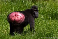 Sulawesi Crested Macaque | Flickr - Photo Sharing!