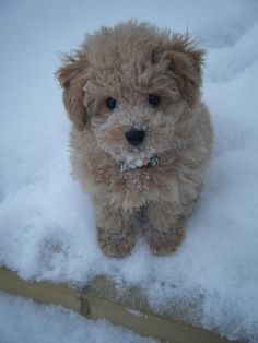 Maltipoo in amber if Andrew wants another hypoallergenic breed I almost bought a puppy like this today!!