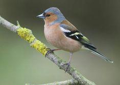 Pretty Birds, Love Birds, Beautiful Birds, Small Birds, Colorful Birds, Chaffinch, Robin Redbreast, British Garden, Animal 2