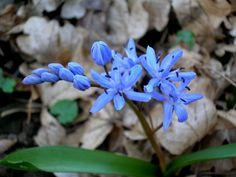 Vioreaua - Scilla bifolia Birds, Garden, Plants, Blossoms, Tattoo Ideas, Garten, Flowers, Bird, Gardens